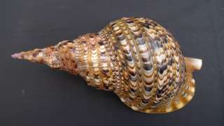 LARGE 35cm PACIFIC TRITON SHELL SEASHELL Marine Collectible Sipadan